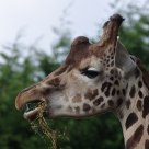 Girafe attentive